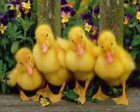 قیمت جوجه اردک یک روزه ، فروش جوجه اردک گوشتی - طیور
