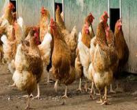 فروش مرغ تخم گذار سه ماهه بومی گلپایگانی - طیور