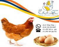 فروش مرغ بومی تخم گذار سابین تجارت