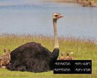 فروش مستقیم شتر مرغ هچری