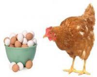 فروش بهترین نژاد مرغ تخمگذار محلی ، پولت و نیمچه