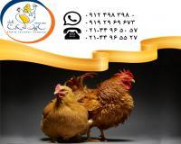 فروش مرغ و خروس بومی سابین تجارت فرداد