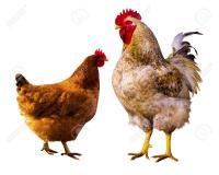 جوجه مرغ و خروس تفکیک شده - طیور