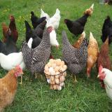 فروش مرغ بومی آماده تخم گذاری-نیمچه و جوجه یک روزه - طیور
