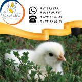 فروش جوجه مرغ گوشتی راس 308 سابین تجارت