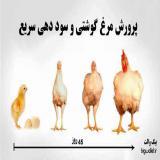 فروش مرغ راس و کاپ ( مرغ پولت ) - طیور