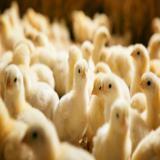 فروش انواع جوجه گوشتی 45 روزه - طیور