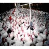 فروش جوجه بوقلمون یک روزه و یک ماه گوشتی و تخمگذار - طیور