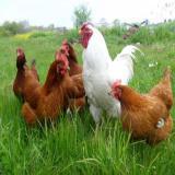 فروش جوجه یکروزه مرغ و خروس بومی