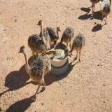 فروش جوجه شتر مرغ با بهترین کیفیت وبهترین میزان تخم گذاری