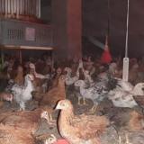 فروش مرغ بومی گلپایگان 6 ماهه سالم و واکسن خورده - طیور