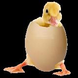 قیمت جوجه اردک یک روزه ، قیمت جوجه اردک پکنی - طیور