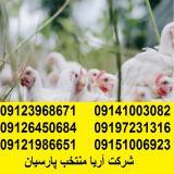 فروش انواع مرغ تخمگذار صنعتی