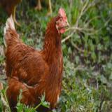 فروش مرغ تخم گذار-09123968671