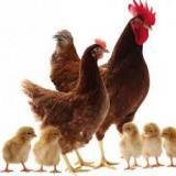فروش نیمچه مرغ بومی گلپایگان - طیور
