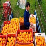 سبد 20 کیلویی - فروش سبد پرتقال و نارنگی