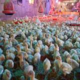 قیمت جوجه بوقلمون یک ماهه _ فروش جوجه مرغ گوشتی - طیور