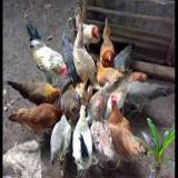 فروش مرغ ده ماهه بومی ، فروش مرغ تخم گذار بومی