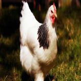 فروش مرغ تخمگذار هلندی مرغ تخمگذار هلندی - طیور