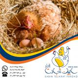 فروش نیمچه مرغ بومی شرکت سابین تجارت