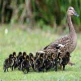 جوجه اردک پکنی یک روزه ، 5 روزه ، 10 روزه و15 روزه