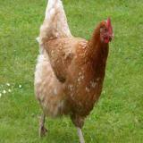 فروش نیمچه مرغ پا به تخم - سپید - طیوران - طیور