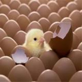فروش جوجه مرغ گوشتی یکروزه - طیور