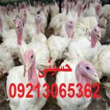 فروش جوجه بوقلمون بیوتی 09213065362
