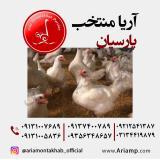 مرغ پولت تخمگذار صنعتی