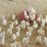 فروش مرغ گوشتی