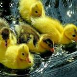خریدار اردک - طیور