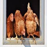 فروش مرغ لوهمن 4 ماهه با قیمت استثنایی - طیور