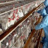 فروش نیمچه مرغ پا به تخم- سپید طیوران