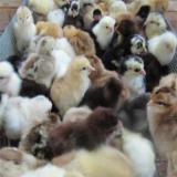 فروش جوجه مرغ یکروزه بومی