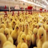 فروش جوجه مرغ گوشتی راس 308