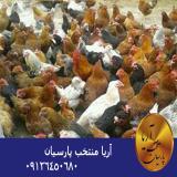 فروش مرغ بومي (محلي)  تخم گذار