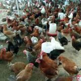 فروش جوجه مرغ بومی تخم گذار - طیور