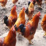 فروش جوجه مرغ و خروس یکروزه اصلاح شده و نیمچه