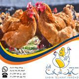 فروش مرغ بومی سابین تجارت