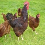 فروش مرغ گلپایگانی