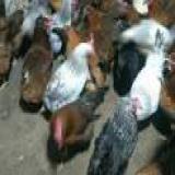 فروش مرغ بومی اصلاح نژاد شده ، فروش دان مرغ