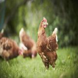 جوجه 1 ماهه مرغ تخم گذار بومی