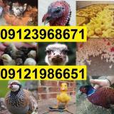 فروش جوجه کبک ، فروش جوجه اردک ، فروش جوجه گوشتی
