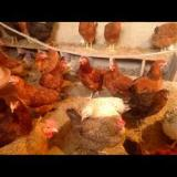 فروش مرغ تخم گزار بومی