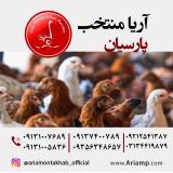 مرغ بومی گلپایگان (تخمگذار)