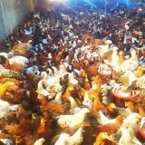 پرورش و فروش مرغ بومی گلپایگانی در تمام سنین - طیور