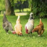 فروش مرغ بومی آماده به تخم نژاد گلپایگان