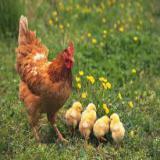 فروش فقط مرغ 3 ماهه بومی محلی - طیور