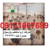 فروش جوجه شترمرغ 10 روزه خرید مستقیم از تولیدکننده09131007689