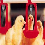 فروش جوجه مرغ یک روزه ، گوشتی - طیور
